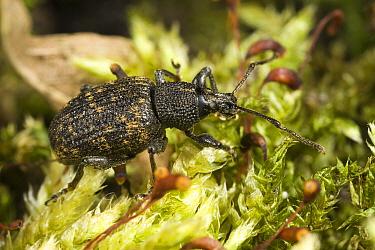 Black Vine Weevil (Otiorhynchus sulcatus) walking on moss, Den Helder, Netherlands  -  Bert Pijs/ NIS