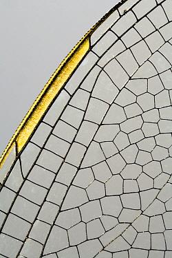 Emperor Dragonfly (Anax imperator) wing, Den Helder, Netherlands  -  Bert Pijs/ NIS