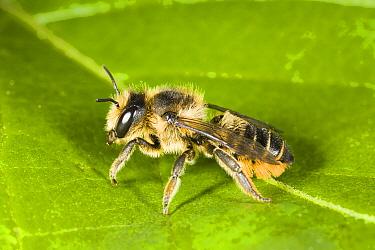 Leafcutter Bee (Megachile centuncularis) female on leaf, Den Helder, Netherlands  -  Bert Pijs/ NIS