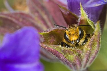 Leafcutter Bee (Megachile centuncularis) male sleeping in flower, Den Helder, Netherlands  -  Bert Pijs/ NIS