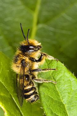 Leafcutter Bee (Megachile centuncularis) male on leaf, Den Helder, Netherlands  -  Bert Pijs/ NIS