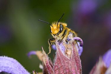 Leafcutter Bee (Megachile centuncularis) male, Den Helder, Netherlands  -  Bert Pijs/ NIS
