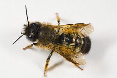 Red Mason Bee (Osmia rufa), Den Helder, Netherlands  -  Bert Pijs/ NIS