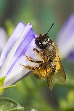 Red Mason Bee (Osmia rufa) female on flower, Den Helder, Netherlands  -  Bert Pijs/ NIS