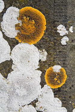 Common Orange Lichen (Xanthoria parietina) on a gravestone, Den Helder, Netherlands  -  Bert Pijs/ NIS