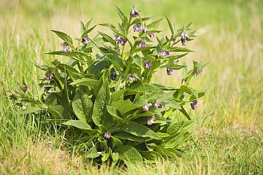 Common Comfrey (Symphytum officinale) in bloom, Den Oever, Netherlands  -  Bert Pijs/ NIS