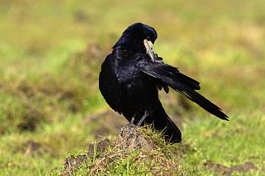 Rook (Corvus frugilegus) grooming, Utrecht, Netherlands  -  Lesley van Loo/ NiS