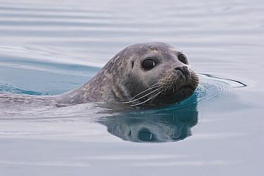 Common Seal (Phoca vitulina) swimming, Iceland  -  Chris Stenger/ Buiten-beeld