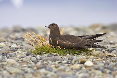 Pomarine Jaeger (Stercorarius pomarinus) resting on gravel plain, Jokulsarlon, Iceland  -  Chris Stenger/ Buiten-beeld