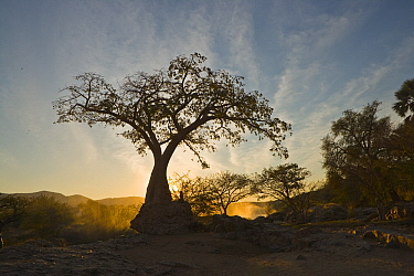 Baobab (Adansonia digitata) silhouetted against the rising sun, Namibia  -  Chris Stenger/ Buiten-beeld