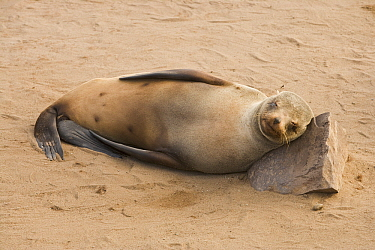 Cape Fur Seal (Arctocephalus pusillus) sleeping, Cape Cross, Namibia  -  Chris Stenger/ Buiten-beeld