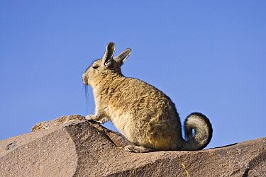 Southern Viscacha (Lagidium viscacia), Lauca National Park, Chile  -  Chris Stenger/ Buiten-beeld