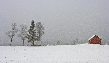 Trees and barn in a snow shower, Stryn, Norway  -  Chris Stenger/ Buiten-beeld