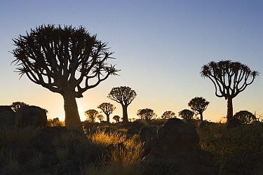 Quiver Tree (Aloe dichotoma) silhouetted against the rising sun, Keetmanshoop, Namibia  -  Chris Stenger/ Buiten-beeld