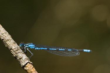 Common Blue Damselfly (Enallagma cyathigerum) on a twig, Kampina, Oisterwijk, Netherlands  -  Bjorn van Lieshout/ NiS