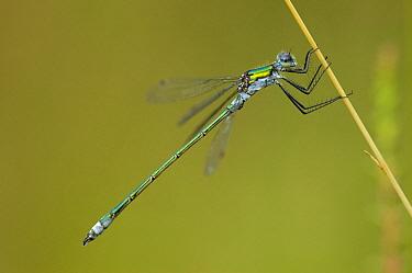 Emerald Damselfly (Lestes sponsa) male, Venhorst, Boekel, Netherlands  -  Bjorn van Lieshout/ NiS