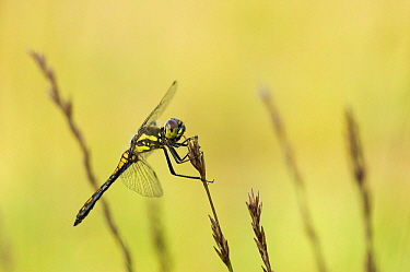 Black Darter (Sympetrum danae) dragonfly, Venhorst, Boekel, Netherlands  -  Bjorn van Lieshout/ NiS