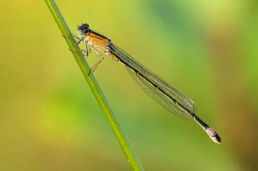 Blue-tailed Damselfly (Ischnura elegans) on a blade of grass, Erp, Netherlands  -  Bjorn van Lieshout/ NiS