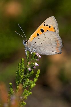 Small Copper (Lycaena phlaeas) butterfly, Venhorst, Boekel, Netherlands  -  Bjorn van Lieshout/ NiS