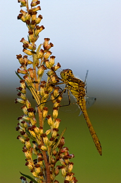 Vagrant Darter (Sympetrum vulgatum) dragonfly in evening light, Keldonk, Netherlands  -  Bjorn van Lieshout/ NiS