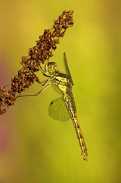 Vagrant Darter (Sympetrum vulgatum) dragonfly female in evening light, Erp, Netherlands  -  Bjorn van Lieshout/ NiS