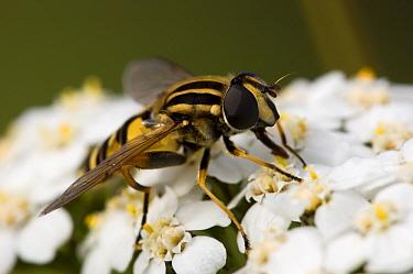 Hoverfly (Helophilus pendulus) sitting on white flowers, Naarden, Netherlands  -  Bjorn van Lieshout/ NiS