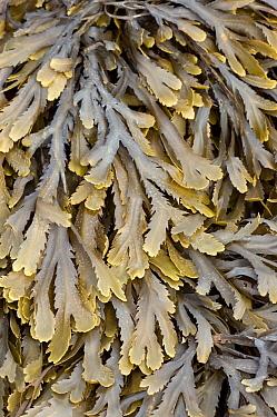 Bladder Wrack (Fucus vesiculosus), Bretagne, France  -  Bjorn van Lieshout/ NiS