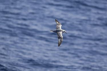 Southern Fulmar (Fulmarus glacialoides) flying, Antarctica  -  Otto Plantema/ Buiten-beeld