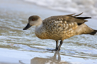 Crested Duck (Lophonetta specularioides) on the beach, Falkland Islands  -  Otto Plantema/ Buiten-beeld