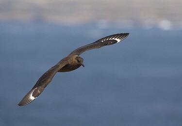 Antarctic Skua (Catharacta antarctica) flying, Falkland Islands  -  Otto Plantema/ Buiten-beeld
