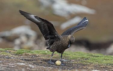 Antarctic Skua (Catharacta antarctica) stealing penguin egg, Falkland Islands  -  Otto Plantema/ Buiten-beeld