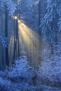 Ray of sunlight coming through frost-covered trees, Leende, Netherlands  -  Heike Odermatt