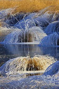 Moor Grass (Molinia caerulea) covered with frost, Valkenswaard, Netherlands  -  Heike Odermatt