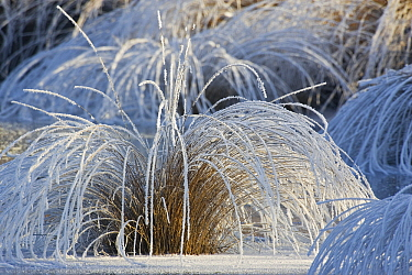 Moor Grass (Molinia caerulea) covered with hoarfrost, Valkenswaard, Netherlands  -  Heike Odermatt