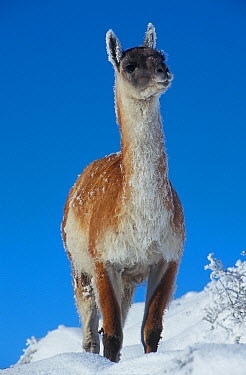 Guanaco (Lama guanicoe) in deep snow, Torres del Paine National Park, Chile  -  Simon Littlejohn/ NiS