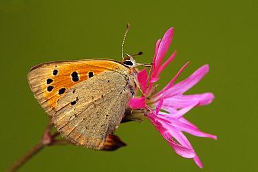 Small Copper (Lycaena phlaeas) butterfly, Saint-Jory-las-Bloux, Dordogne, France  -  Silvia Reiche
