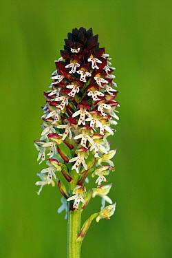 Burnt Orchid (Neotinea ustulata) flower, Saint-Jory-las-Bloux, Dordogne, France  -  Silvia Reiche