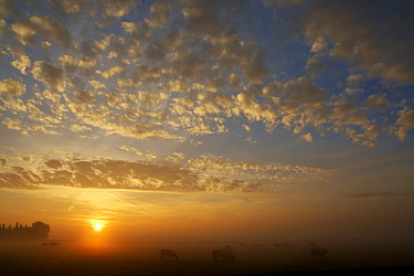 Domestic Cattle (Bos taurus) in hazy landscape at sunrise, Reeuwijk, South Holland, Netherlands  -  Aad Schenk/ NiS