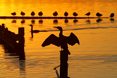 Great Cormorant (Phalacrocorax carbo) at sunset sitting on pole with wings spread, Netherlands  -  Aad Schenk/ NiS