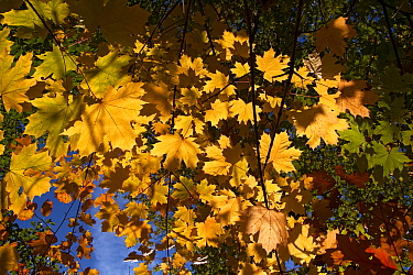 Norway Maple (Acer platanoides) leaves in autumn, Netherlands  -  Aad Schenk/ NiS