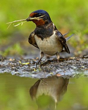 Barn Swallow (Hirundo rustica) gathering nesting material, Vajta, Hungary  -  Wim Klomp/ NiS
