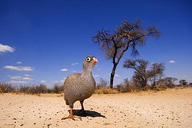 Red-billed Francolin (Francolinus adspersus) in Kalahari landscape, Kgalagadi Transfrontier Park, Botswana  -  Vincent Grafhorst