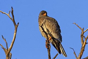 Pale Chanting-goshawk (Melierax canorus), Kgalagadi Transfrontier Park, Botswana  -  Vincent Grafhorst
