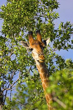 Southern Giraffe (Giraffa giraffa) head and neck sticking out from a bush, Mokolodi Nature Reserve, Botswana  -  Vincent Grafhorst