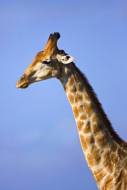 Southern Giraffe (Giraffa giraffa) portrait, Mokolodi Nature Reserve, Botswana  -  Vincent Grafhorst