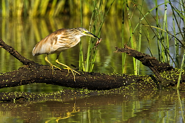 Squacco Heron (Ardeola ralloides) with frog in its bill, Gaborone Game Reserve, Botswana  -  Vincent Grafhorst