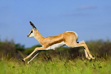 Springbok (Antidorcas marsupialis) young running, Khama Rhino Sanctuary, Serowe, Botswana  -  Vincent Grafhorst