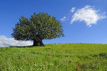 Olive (Olea europaea) tree in open field, Spain  -  Simon Littlejohn/ NiS