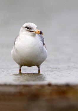 Ring-billed Gull (Larus delawarensis), Texas  -  Marcel van Kammen/ NiS