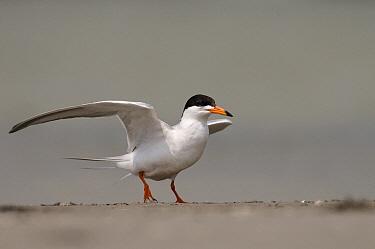 Forster's Tern (Sterna forsteri) flapping its wings, Texas  -  Marcel van Kammen/ NiS